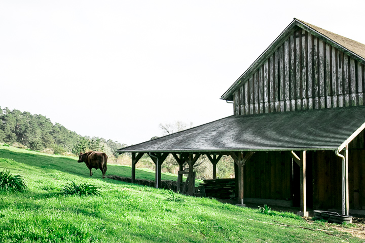 A barn with a cow grazing on green grass on Pie Ranch in Pescadero, California.